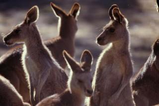 kangaroos, gillard, mysogyny